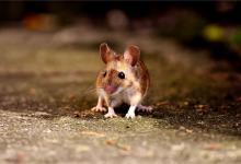 性格分析-生肖鼠的特点(图文)
