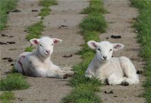 属羊的年龄表(图文)