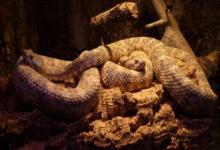 女性梦到好多蛇是什么意思