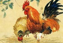 男怕子时鸡?子时出生的生肖鸡好吗?(图文)