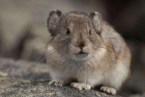 属鼠本命年真的不好吗 36岁本命年属鼠如何转运