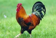 属鸡2021年运势及运程 2021年属鸡人的全年运势