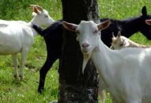 2021年属羊运势及运程详解,属羊人2021年佩戴什么吉祥物好
