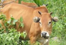 2021年属牛人本命年要带什么好运气,牛年本命年带什么转运