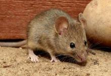 属鼠男2021年全年运势及运程,属鼠人2021年佩戴什么饰品最旺