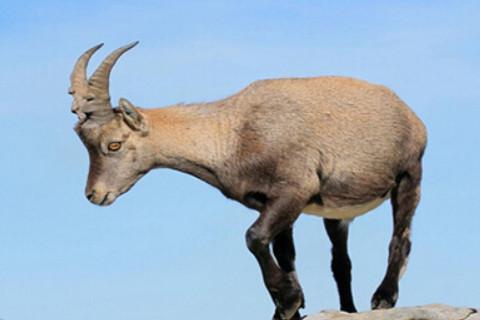 生肖羊和生肖牛的合财吗?