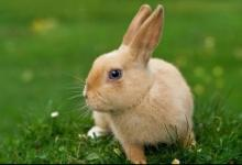 出生于1987年生肖兔人的命运如何?