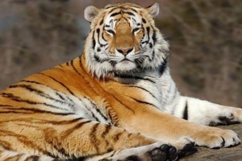 出生于1950年属虎人2021年命运如何  适合佩戴什么吉祥物