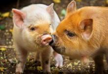 生肖属猪人几点出生命里藏金?