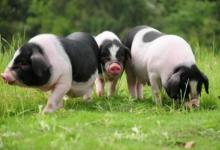 属猪人什么时辰出生命好