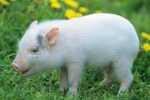 属猪人的贵人属相是哪几个?