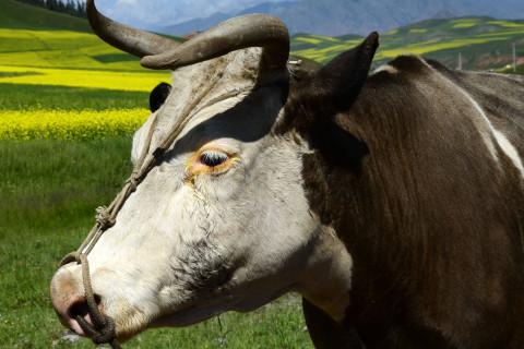 出生于1937年属牛人2021年命运如何  如何化解犯太岁