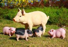 2020庚子鼠年农历八月生肖猪的生肖运势怎么样?
