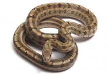 属蛇人三大贵人是哪几个生肖