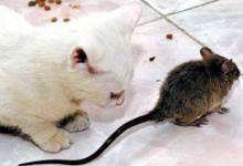 梦见猫抓老鼠