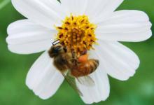 梦见蜜蜂代表了什么意思