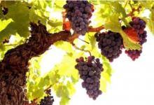 梦见买葡萄