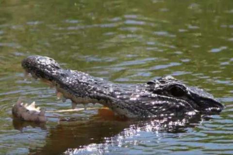 女人梦到鳄鱼