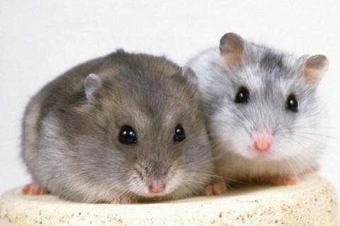 梦见老鼠是什么意思