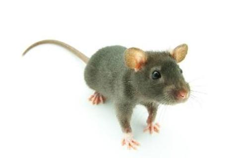 2008年出生属鼠人的运程