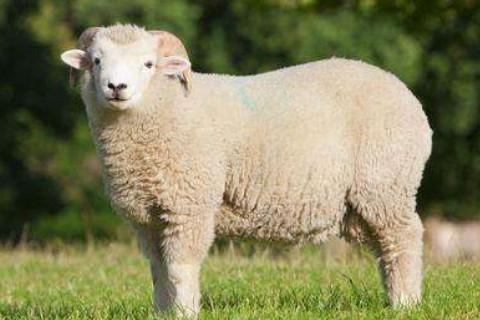 属羊人命里最苦是几月