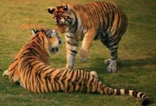 梦见老虎代表着什么