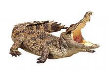 做梦梦见鳄鱼