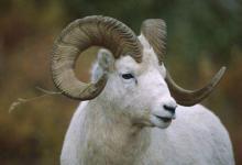 属羊人一生运势如何