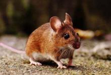 鼠年什么时辰出生命苦
