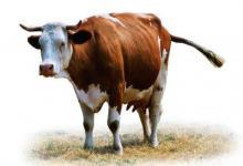 做梦梦到牛