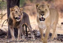 梦见老虎狮子