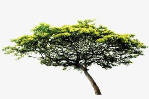 松柏树的风水作用是什么?
