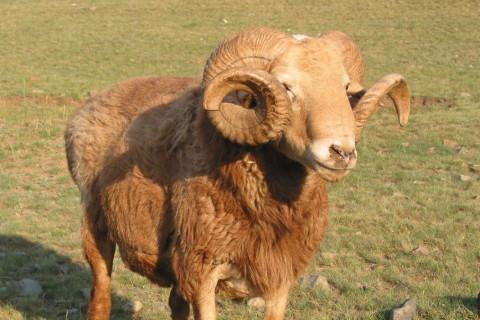 属羊2022年年运势及运程每月运程