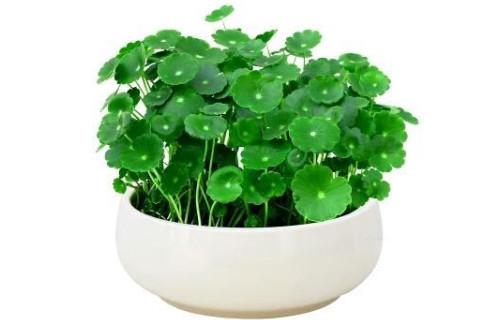 可以招财旺运的植物有哪些?