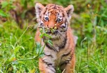做梦梦见老虎是什么意思?
