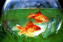 养鱼风水禁忌和作用