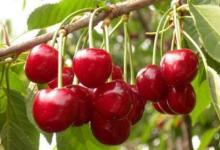 种樱桃树的风水禁忌