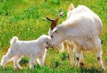 1991年出生的生肖羊是什么命?