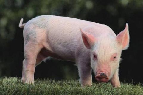 生肖属猪的人异性贵人是哪些?
