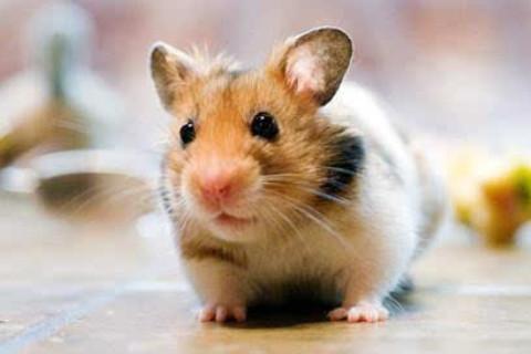 属鼠人的性格特点分析