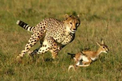 梦见猎豹是什么预兆?