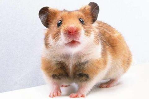 几月出生的属鼠人注定是老板命?