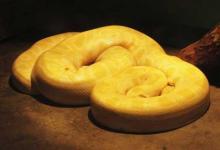 梦到黄金蟒蛇是什么意思?