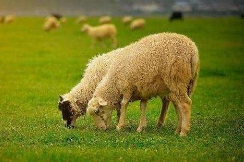 2022年属羊女性运气如何,虎年生肖属羊女带什么转运