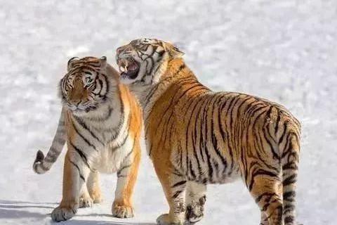 属虎和属兔能婚配吗?