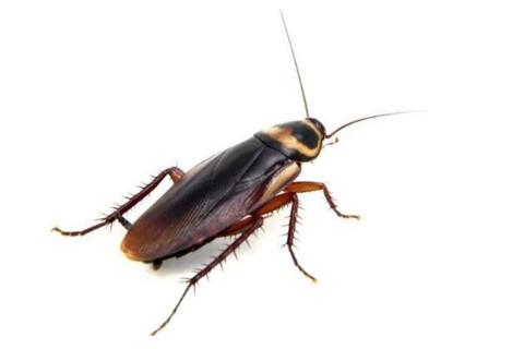 梦到蟑螂是什么预兆?