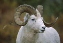 属羊人办公桌摆放注意事项