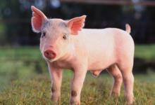 梦见猪是什么意思?