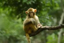 梦见好多猴子