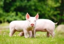 属猪出生在哪个月好?